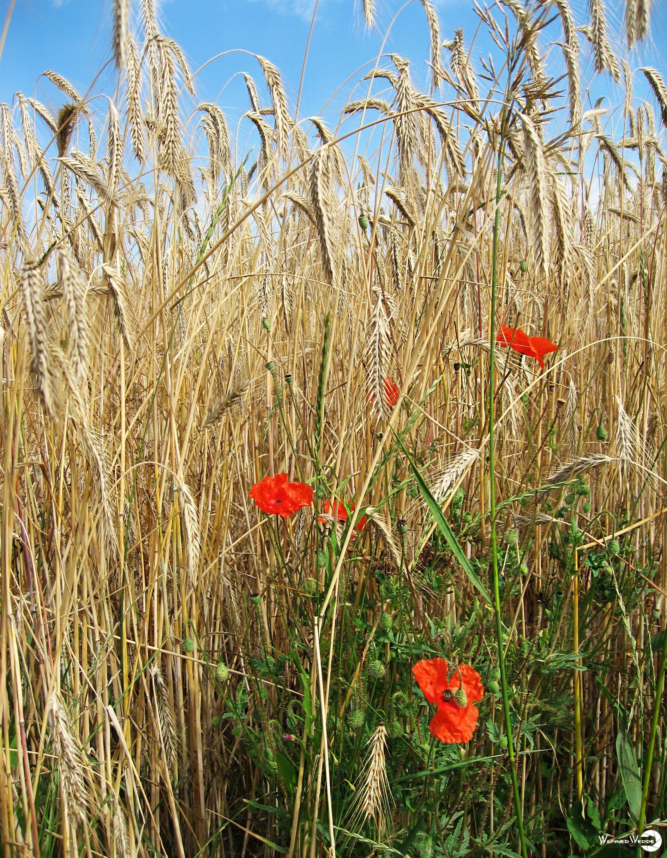 Getreidefeld Mit Mohnblumen Getreide Mohnblume Feld Getreide Feld Blumenfotos Getreide