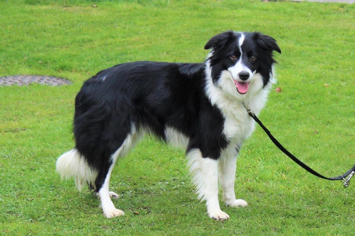 Adopt A Dog Floss Collie Cross Border Dogs Trust Dog