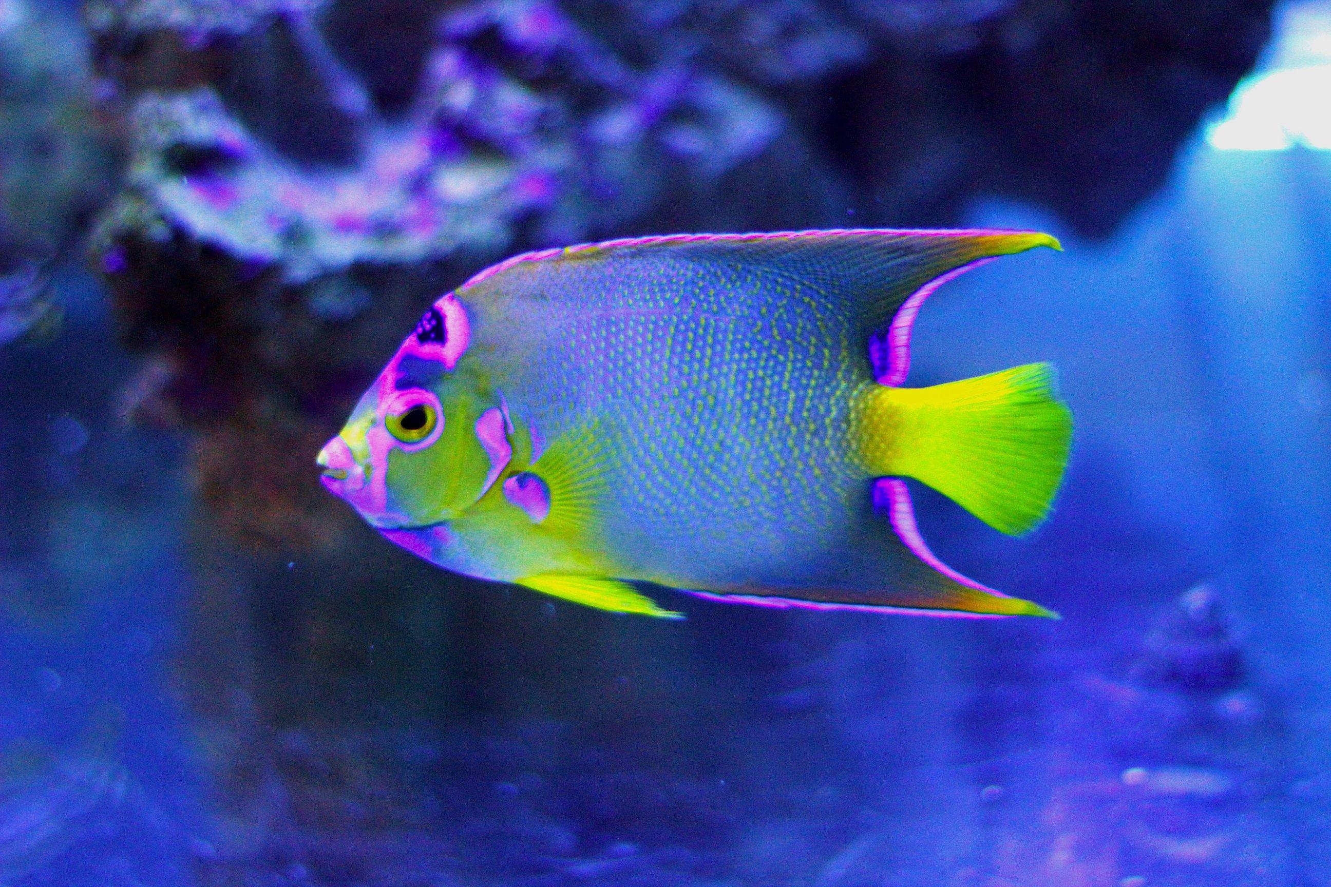 angel fish sea animals u0026 fish pinterest angel fish fish and