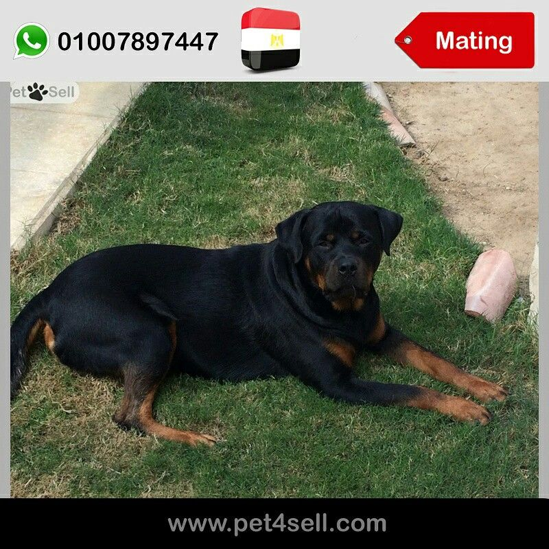 Egypt New Cairo Serbian Rottweiler For Mating Only 2000 Egp