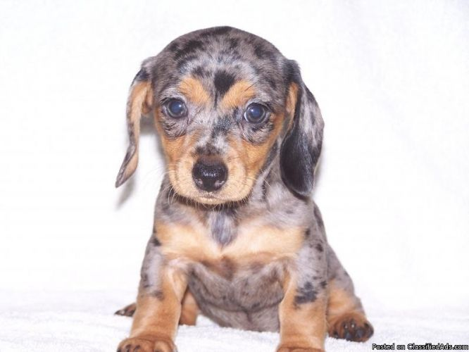Mini Dachshund Puppies For Sale Price 250 00 For Sale In