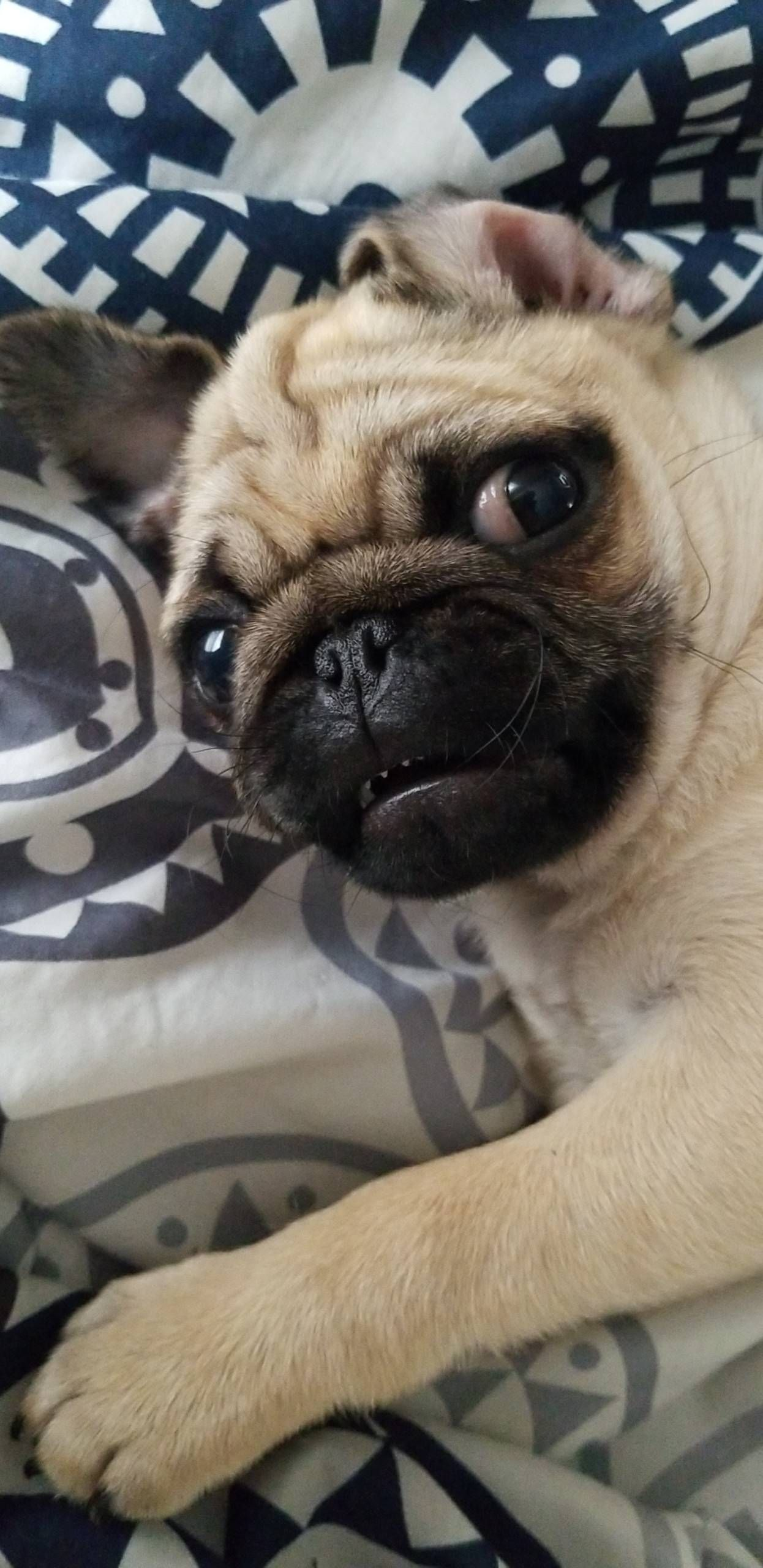 Pin By Dennis Green On Pug Funny Cute Pugs Cute Pug Puppies Pugs