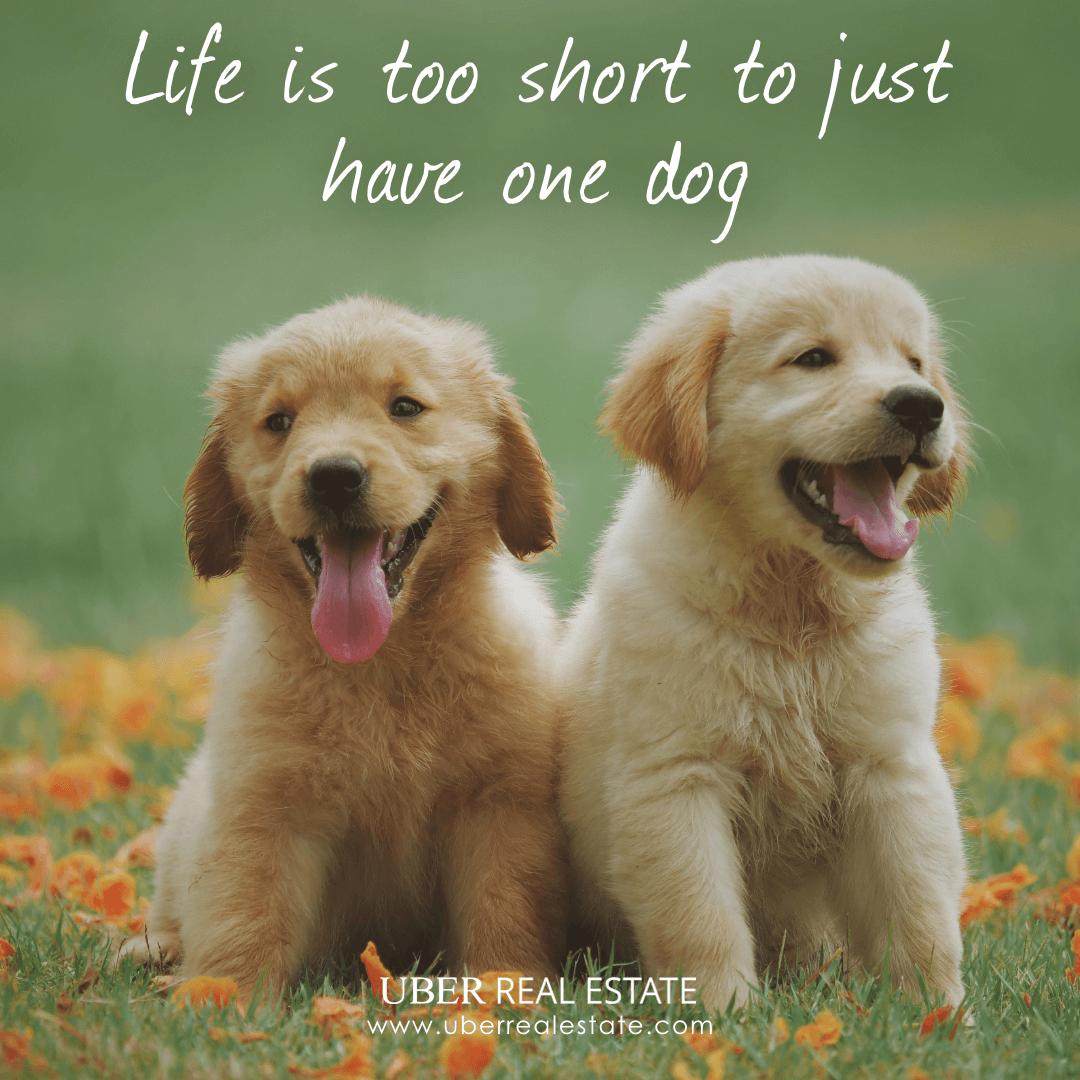 Say Yes If You Agree Uber Uberrealestate Realestate Realestateagent Homes Sfgate Sanfrancisco A Labrador Retriever Puppies Puppies Labrador Retriever