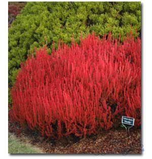 Amazing Heaths Heathers For Your Garden Singing Tree Gardens Winter Garden Winter Plants Lawn And Garden