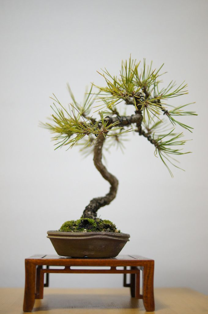 What Is The Best Indoor Bonsai Tree For Beginners Bonsai Tree Bonsai Tree Care Bonsai Garden