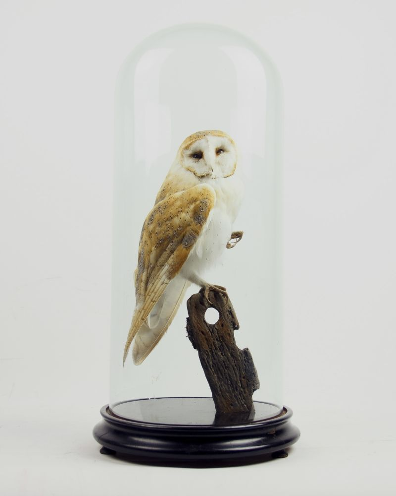Taxidermy Barn Owl from Ayre & Co.