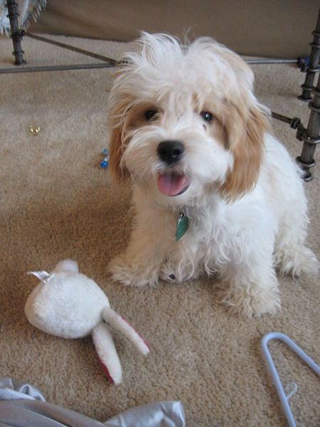 Cavapoo Information And Pictures Cavapoo These Pics Are Really
