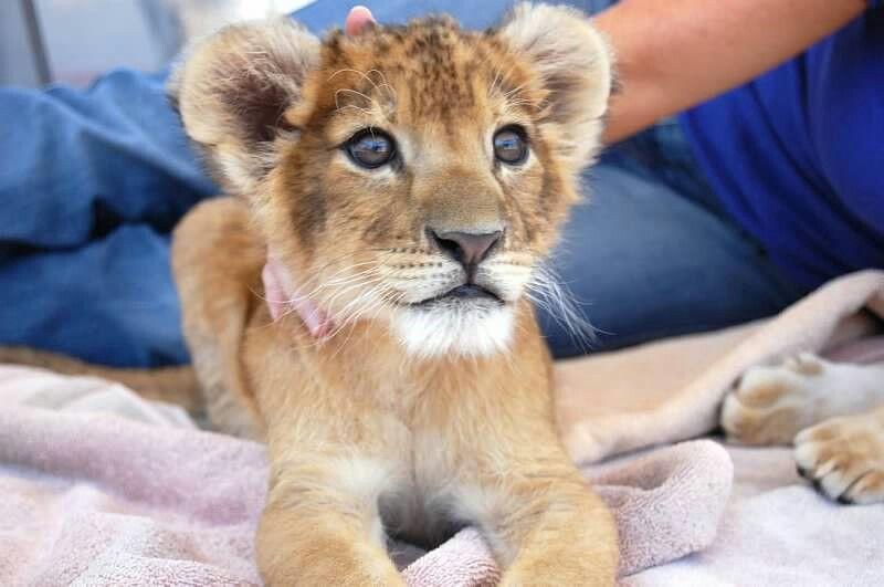Benny 5 wks w leslie lion big cats henderson nv