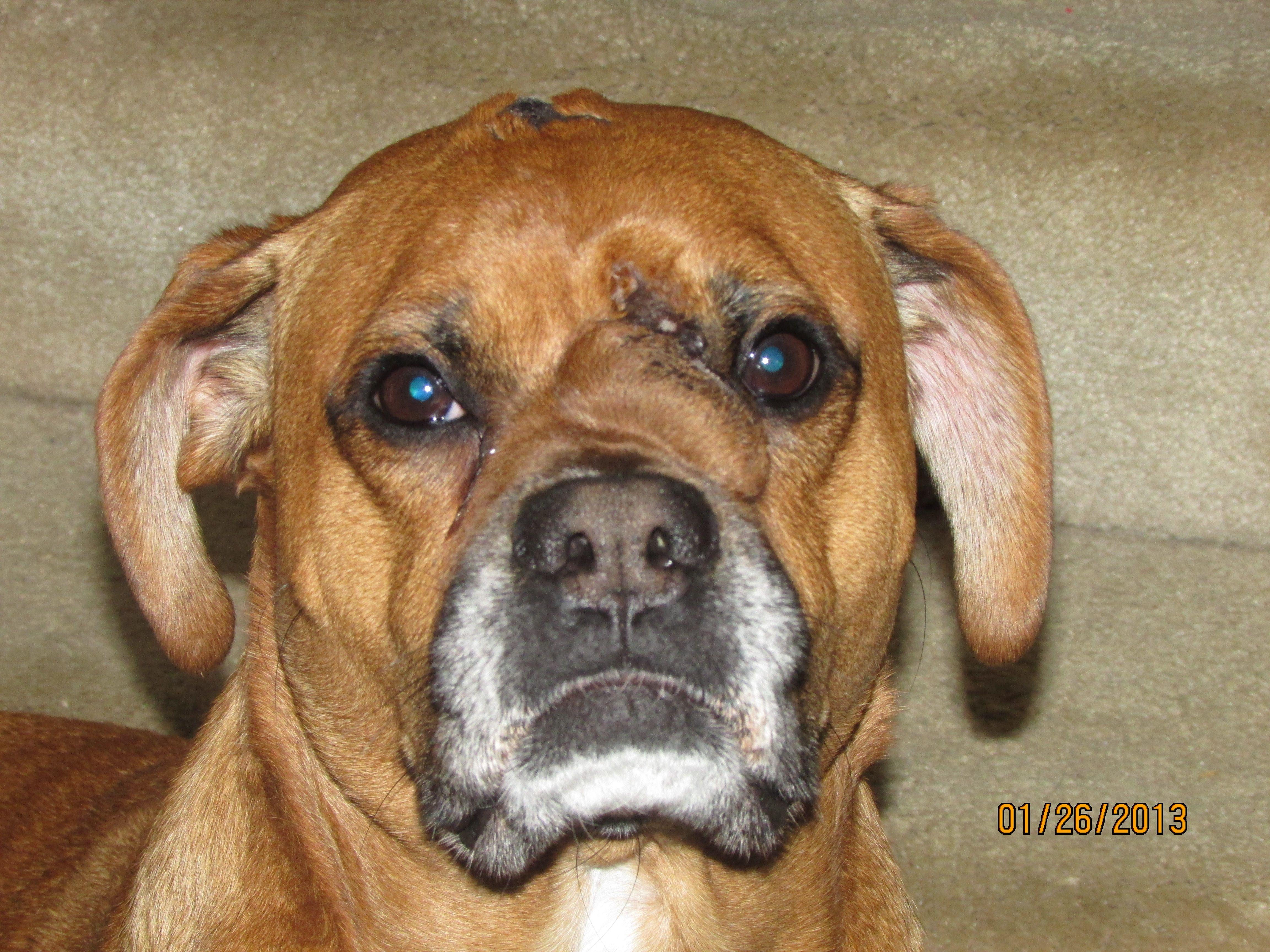 Tanner.....our rescue boxer/shepherd