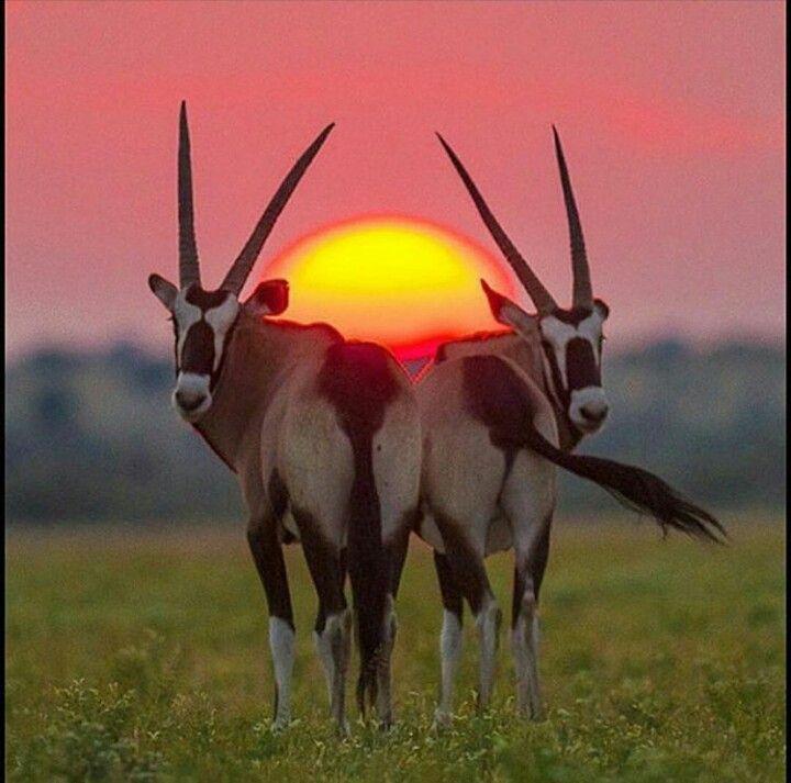 Africanos fotos de antilopes Espécies de