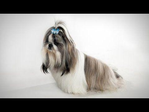Dogs 101 Shih Tzu Dog Breed Selector Shih Tzu Shih Tzu Dog