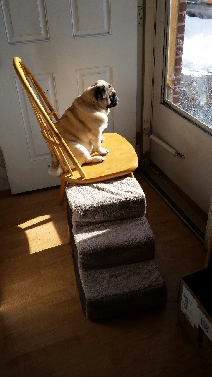 pug with stairs