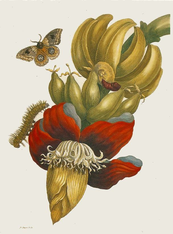"HumanitiesWeb.org - ""Banana Plant"" by Maria Sibylla Merian [Selected Works]"