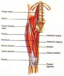 quads, hip flexors, adductors | massage | pinterest | quad, need, Muscles