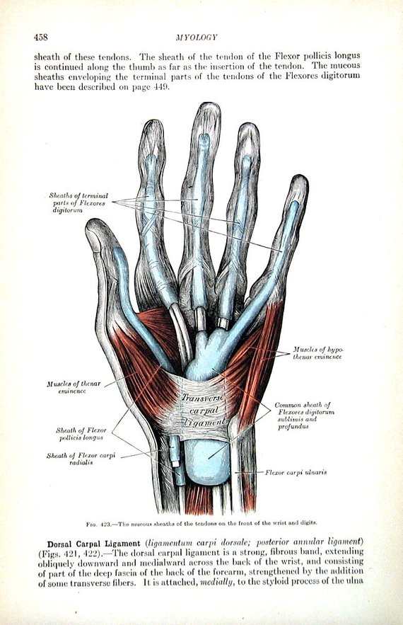 The Human Hand Tendons Of The Wrist And Fingers 1918 Human