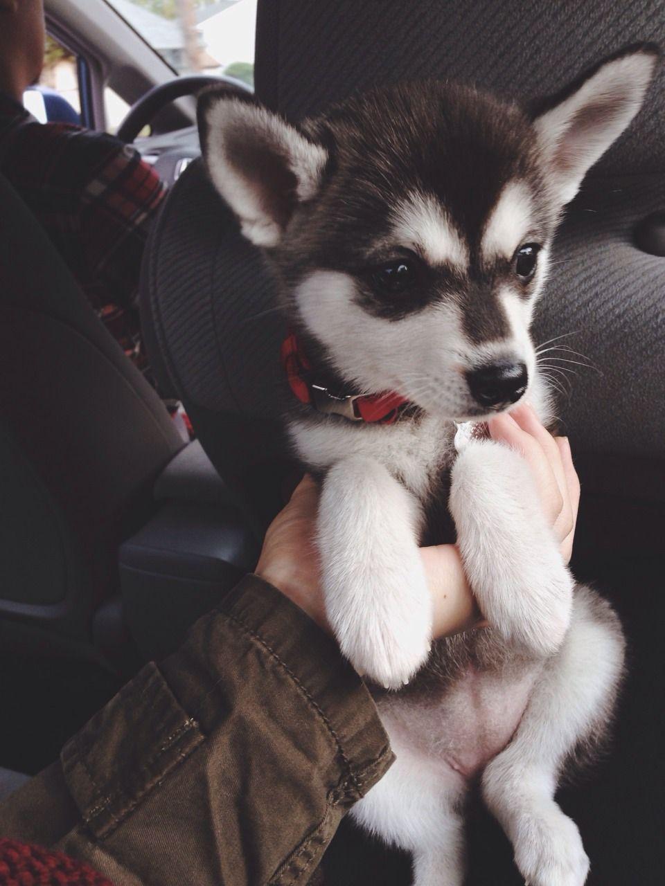 Klee kai | Fur Babes | Pinterest | Alaskan klee kai, Animal and Dog | Siberian Husky Puppies Boston Ma