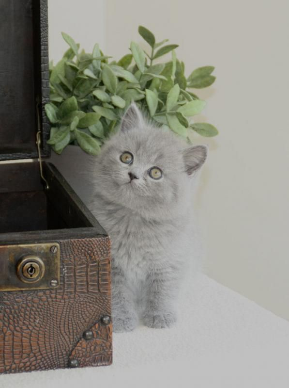 British Shorthair Kitten Cattery Weidezicht The