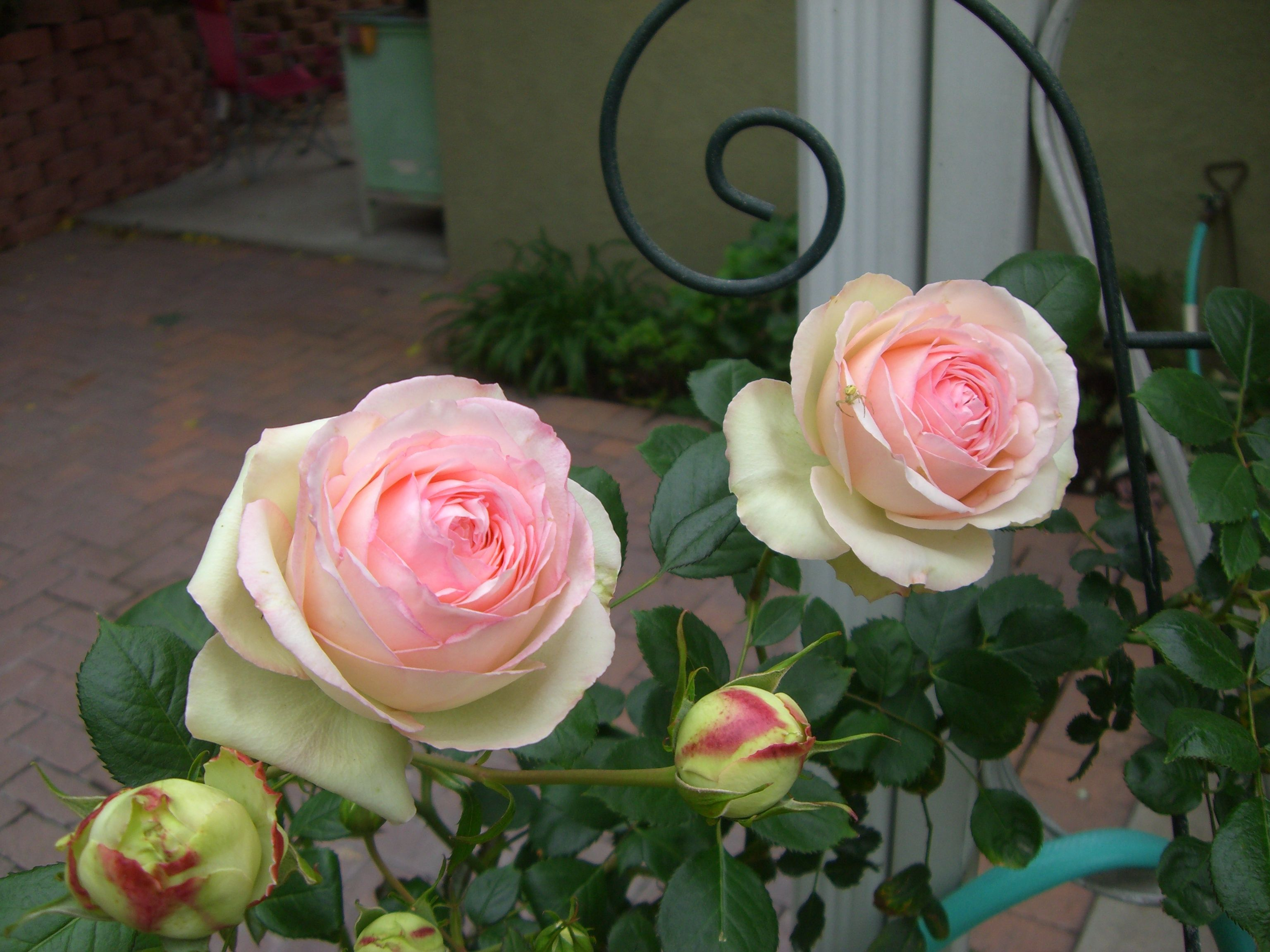 Eden roses this is my favorite it isnut a cutting rose though the