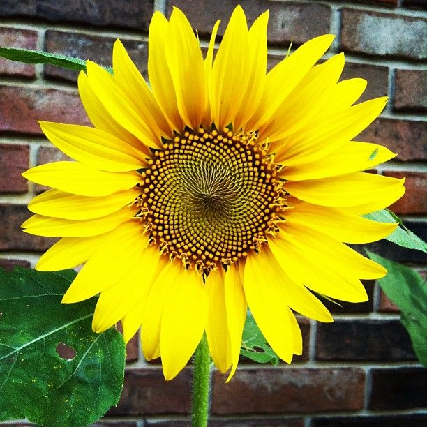 We Have Sunflowers Right Around The Corner From Our Moonflowers Flower Pictures Flowers Plants