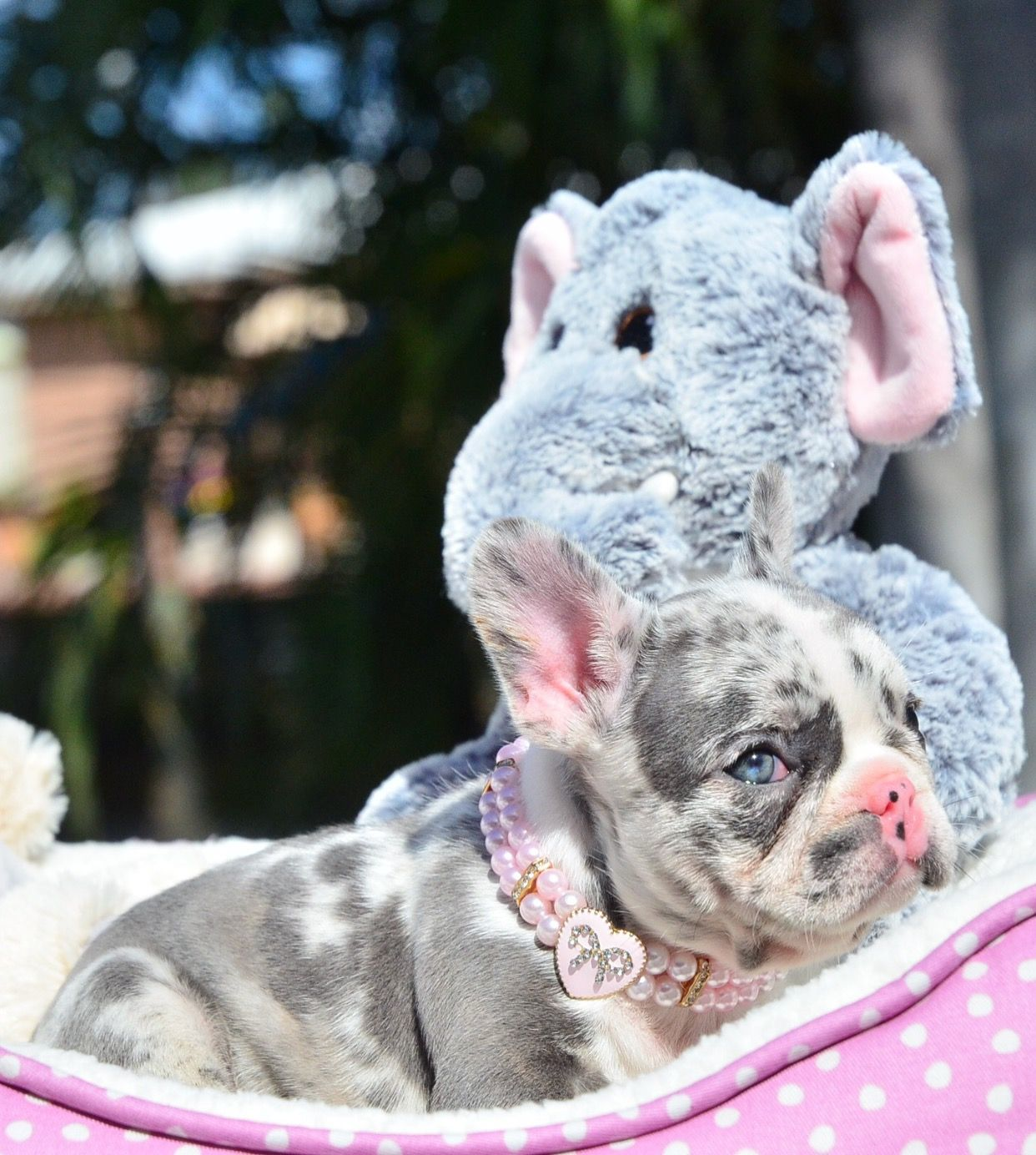 Blue Eyed Blue Merle Female Jordan This Beauty Is Available More Info On Site Www Poeticfrenchbu Baby French Bulldog Merle French Bulldog Cute Dogs
