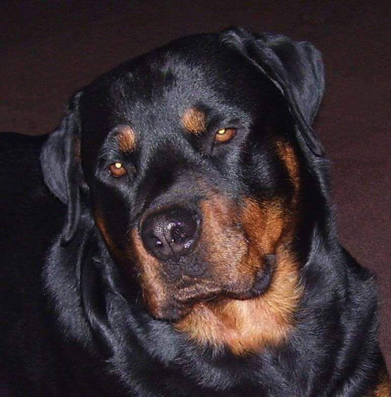 Akillez The Rottweiler Rottweiler Girl Dog Names Female Dog Names