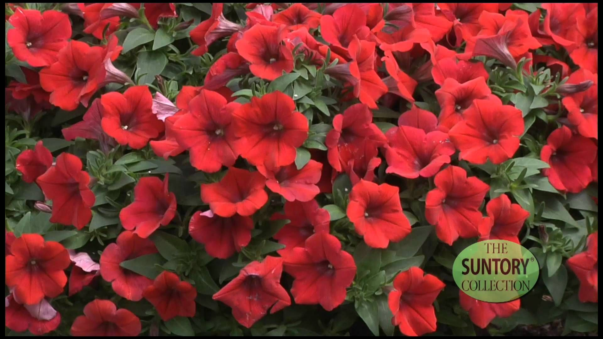 Surfinia Deep Red Magnificent Color And Performance Trailing