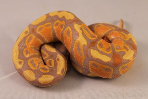 So, so, so happy with this clutch... What wonderful high orange coloring and great purples! Can't go wrong with this morph and all of the combos yet to be tried!  Pounding mice. Weighing 84 grams