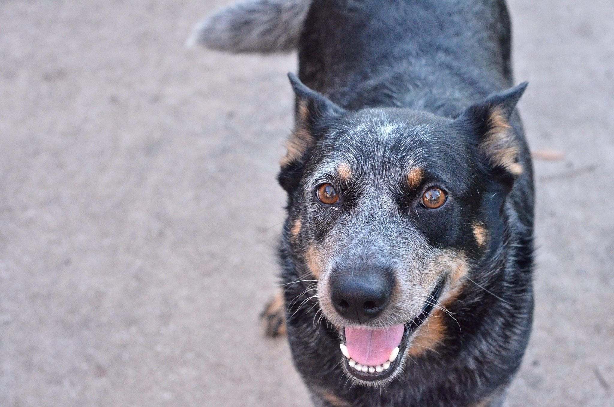 Australian Cattle Dog For Adoption