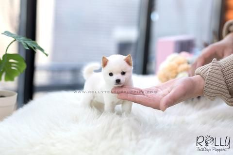 (RESERVED to Sison) Yuki Shiba Inu. F (With images