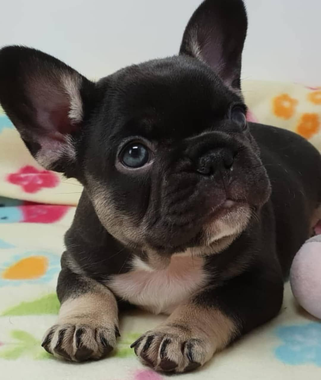 Repinned Image Of Frenchie Puppy French Bulldog Puppy Cute Baby Animals Cute Dogs And Puppies Bulldog Puppies