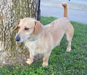 Adopt Mason on | Adoptable dachshund dog, Dachshund mix and ...