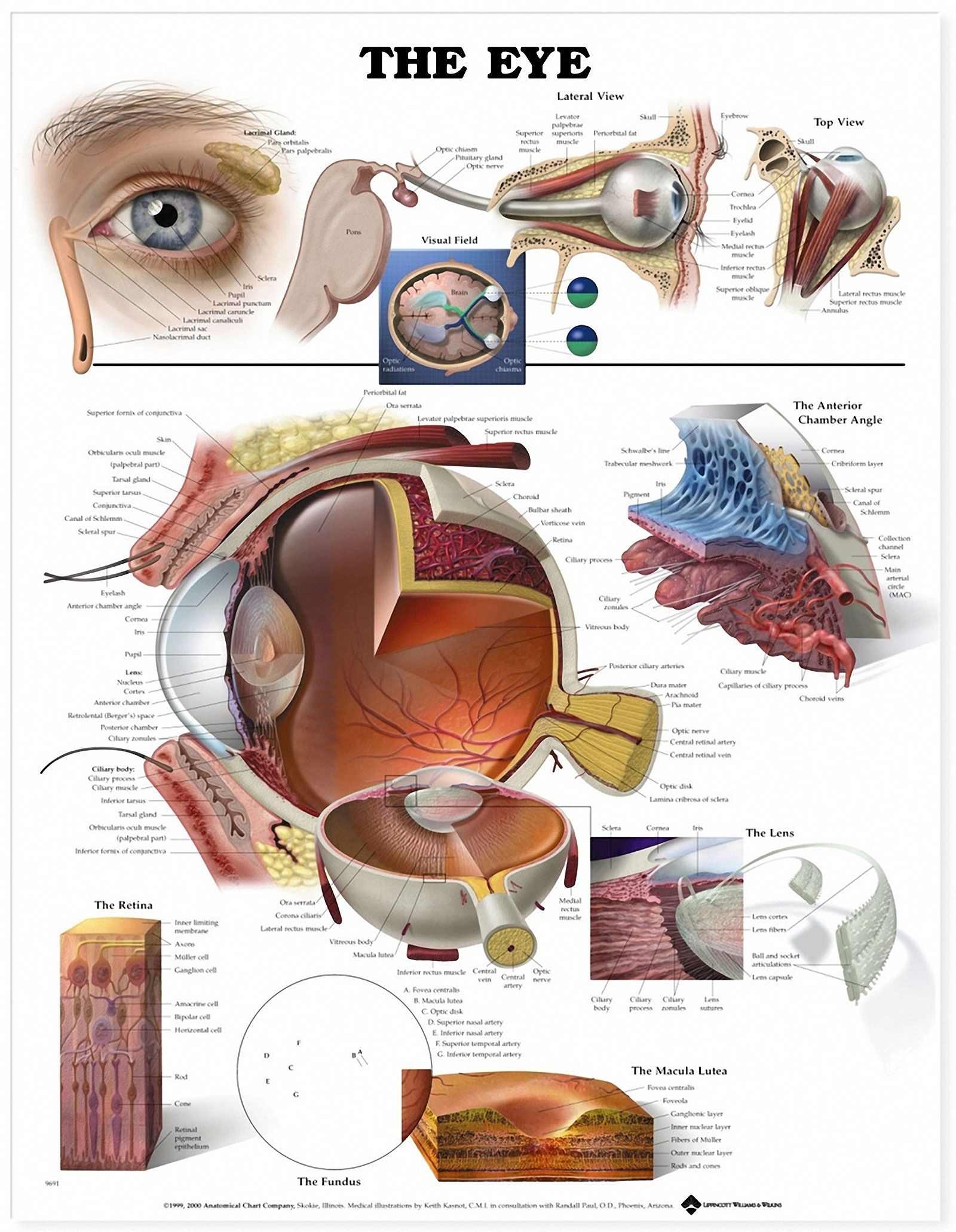 Eye Anatomical Chart L Optique Optometry Rochester Hills