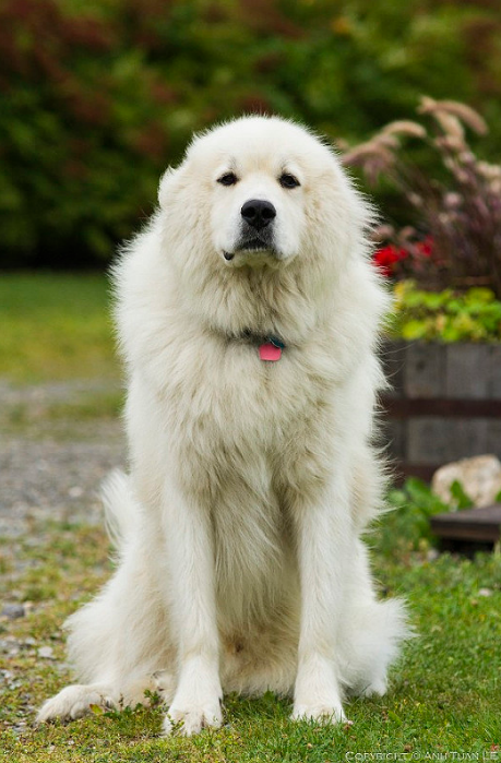 Pin By Goliath Pets On H Great Pyrenees Mountain Dog Great