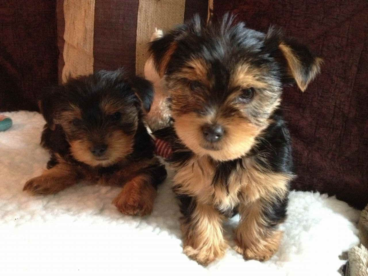 Adopt A Yorkshire Terrier Puppy For Free Yorkshire