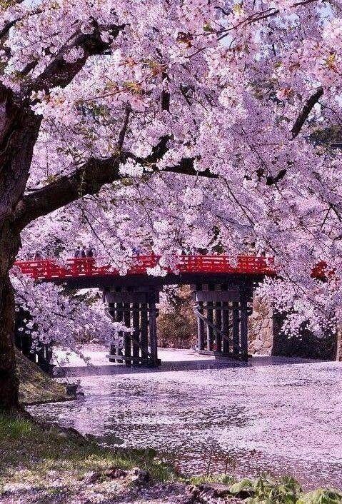 Japan Spring Bunga Sakura Pemandangan Fotografi Alam