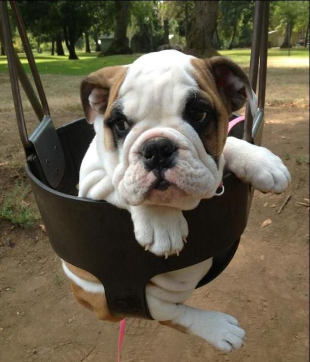 Swing Away Bulldog Puppies Dogs Puppies I Love Dogs