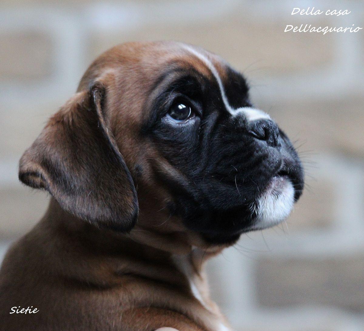 Mooiste Boxer Ter Wereld Most Beautiful Boxer Dog In The World Our Faye Della Casa Dell Acquario Boxer Puppies Boxer Dogs Brindle Boxer Dogs