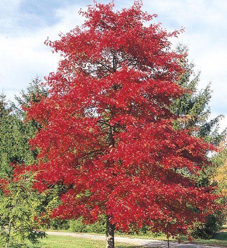 Green Gable™ Black Gum Tree for Sale FastGrowingTrees