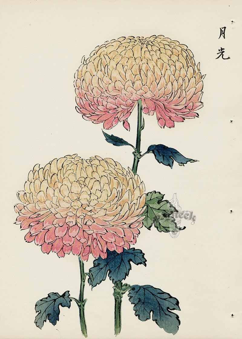 From Art Of The Japanese Chrysanthemum Japanese Woodblock Printing Japanese Art Flower Art
