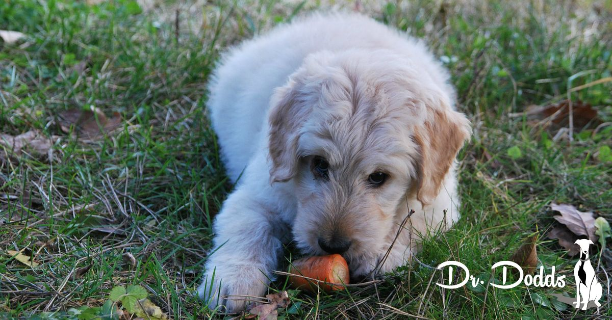 Dilated Cardiomyopathy in Dogs Study on Protein Source