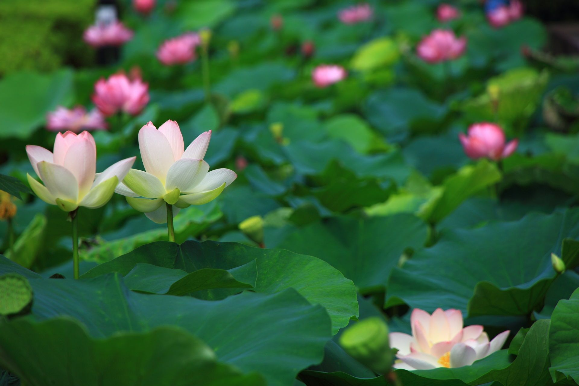 うっすらとピンクの入った白いハスの花 ハスの花 蓮の花 ピンク