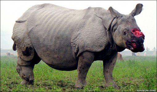 Image result for already extinct rhinoceros