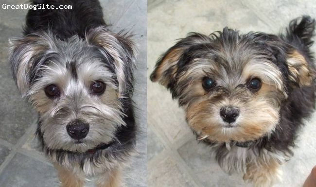 Morkie 2 Yrs Black Tan Both Had The Same Purebred Yorkie Father And Separate Purebred Maltese Mothers Both Ended Up Wit Morkie Dog Behavior Dog Training