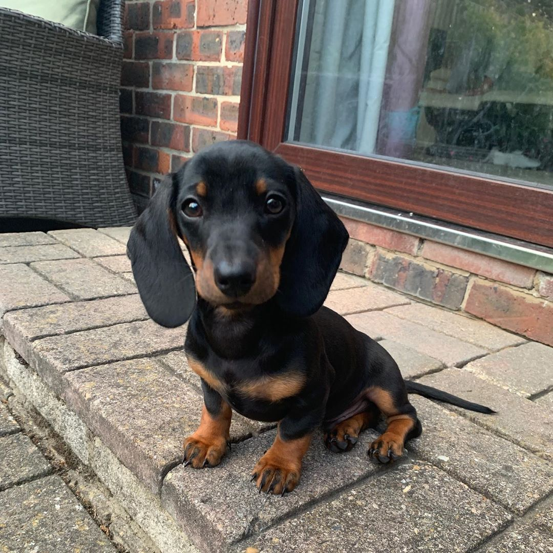 Dachshund Products Apparel And Gifts Cute Cute Dog Pictures