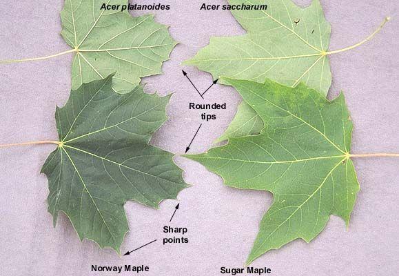 Sugar Maple Tree Identification