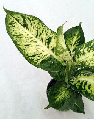 Splash Dieffenbachia Easy To Grow Houseplant Lawn And