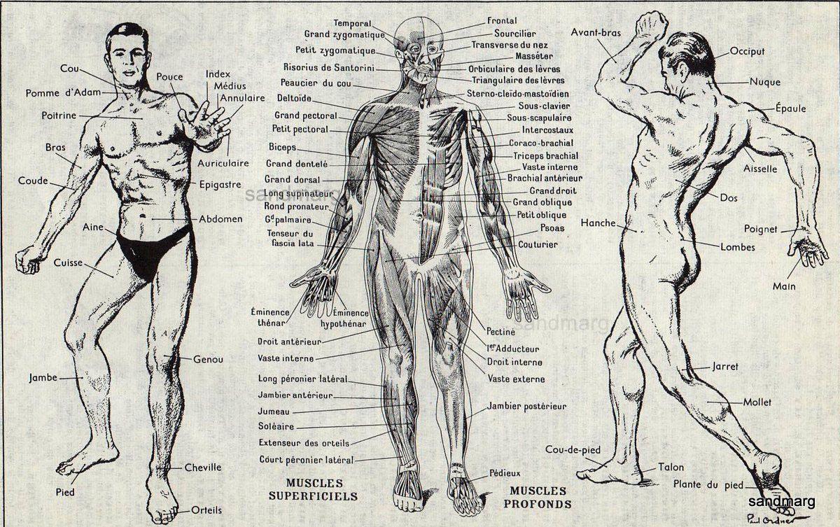 French Human Anatomy Chart Muscles Human Muscles Anatomy Pinterest