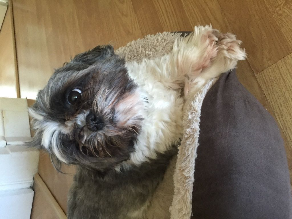 Shih tzu free to good home on Gumtree. 4 year old shih tzu