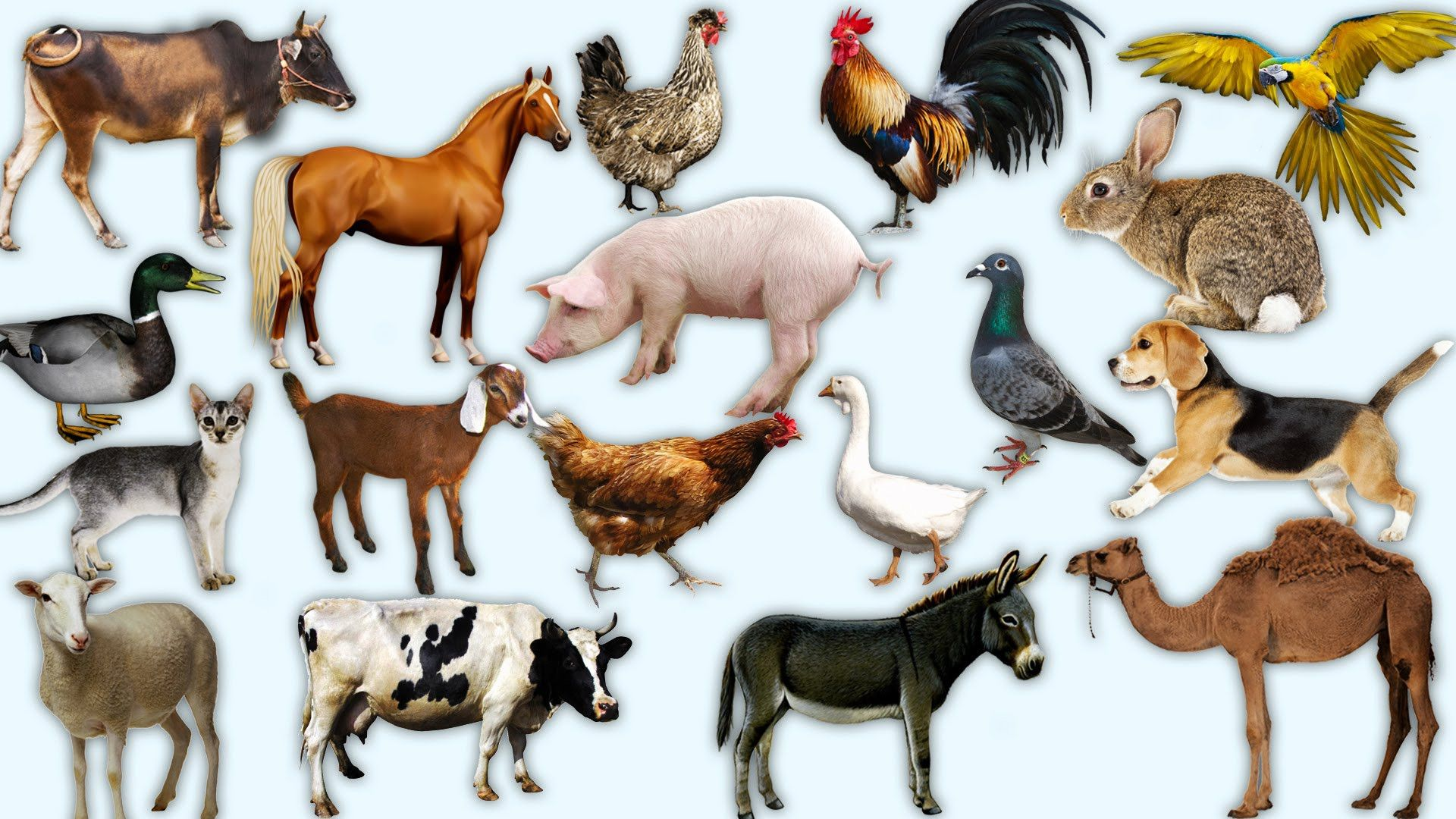 Learn Domestic Animals For Preschool Toddlers Learning