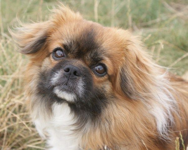 Love this pekenes dog | Pets | Pinterest
